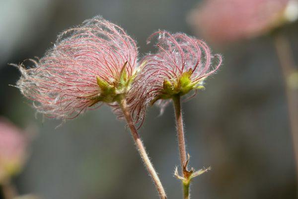 fruit de l'anemone pulsatille