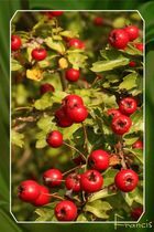 Fruit d'églantier