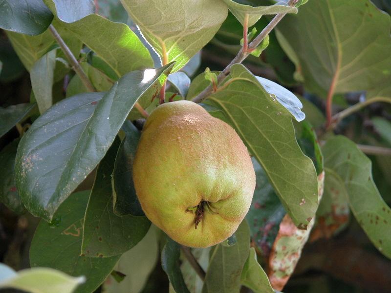 Fruit du Gers