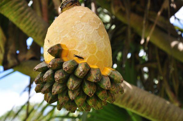 fruit,  Vacoa baum wie unten beschrieben