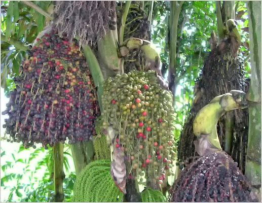 Fruits curieux de ce palmier pêcher.02.2007