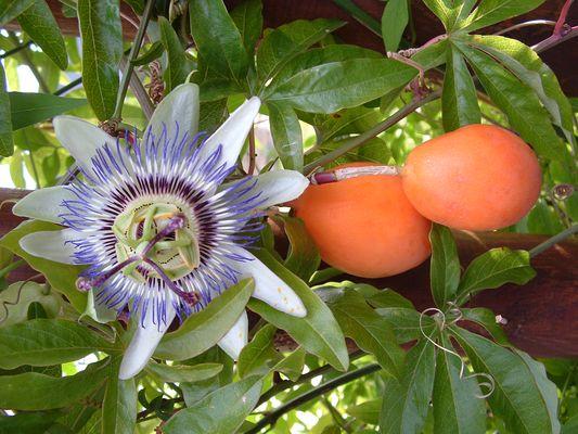 fruits et fleurs de passiflor