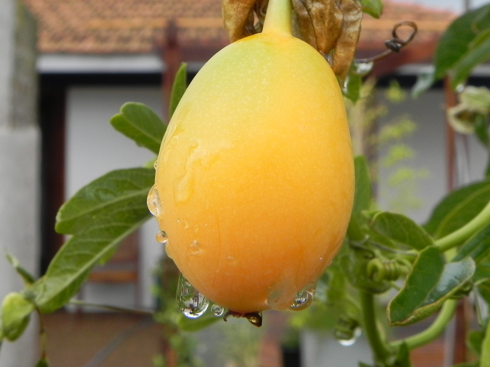 fruto del mburucuya