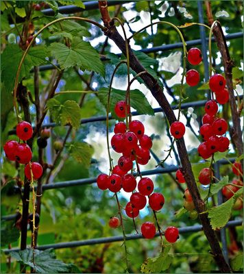Frutos de  verano (Johannisbeeren)
