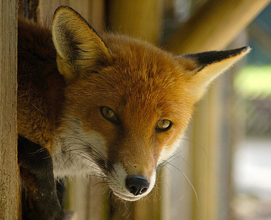 Fuchs 2