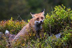 Fuchs 4