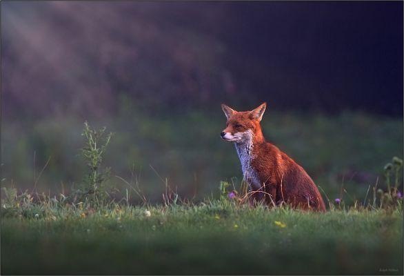 - Fuchs -