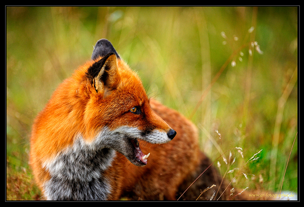Fuchs am Abend....