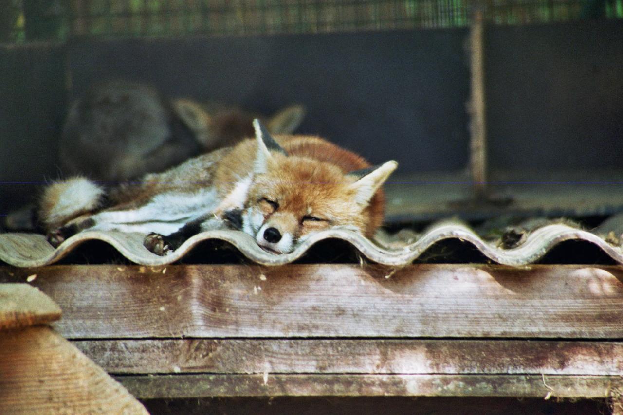 Fuchs am schlafen...