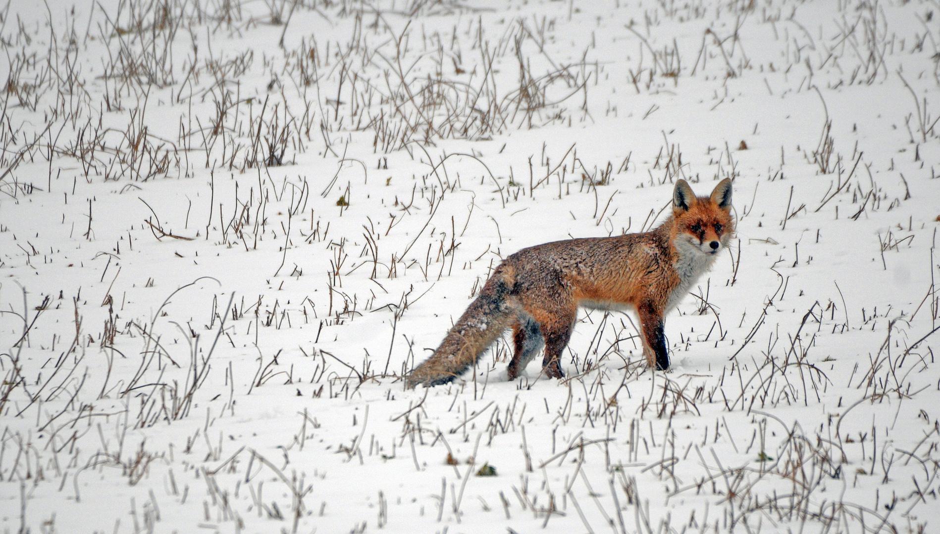 Fuchs auf Futtersuche