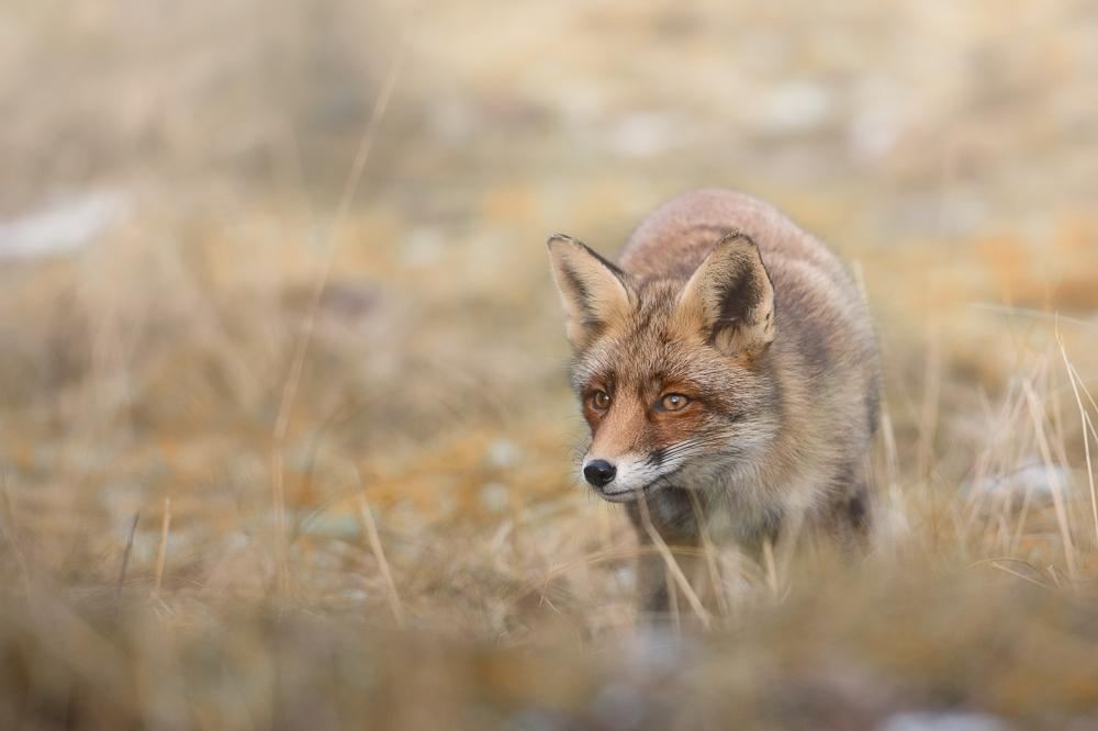 Fuchs auf Pirsch