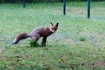 Fuchs bei uns auf dem Hof ...mitten in der Innenstadt
