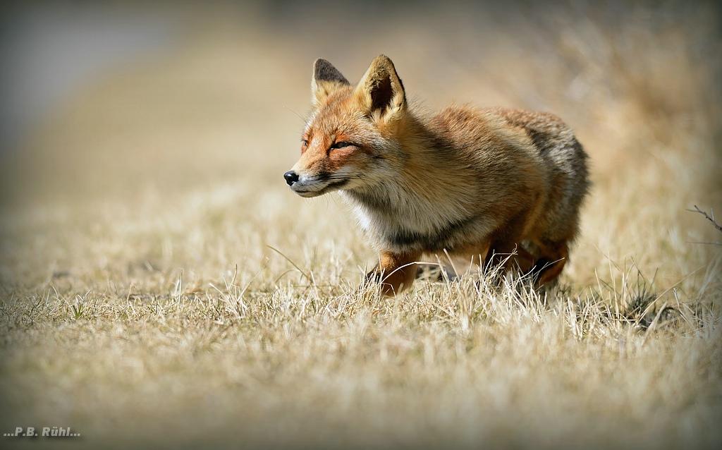 Fuchs beim anschleichen