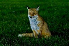 Fuchs der Nacht