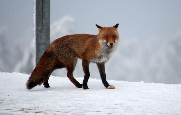 Fuchs der nicht die Gans gestohlen hat