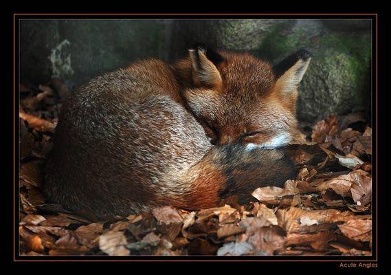 Fuchs, Du hast die Gans verschlafen ...