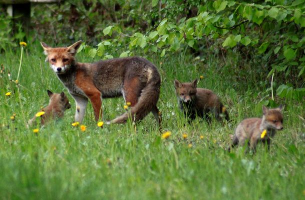 Fuchs-Familie