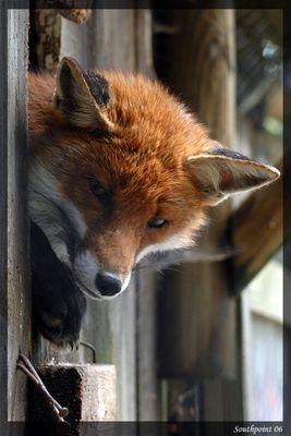 Fuchs hast du die Gans gestohlen?