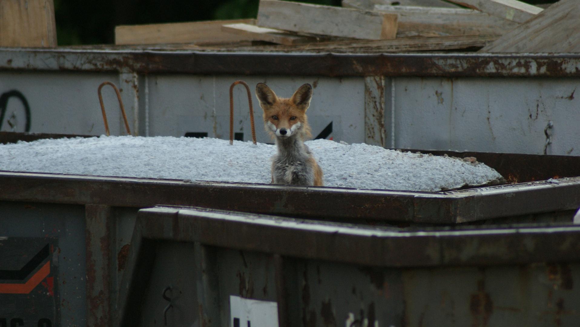 Fuchs im Container
