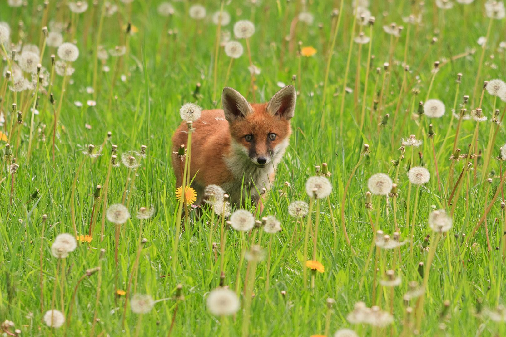 Fuchs im Frühling