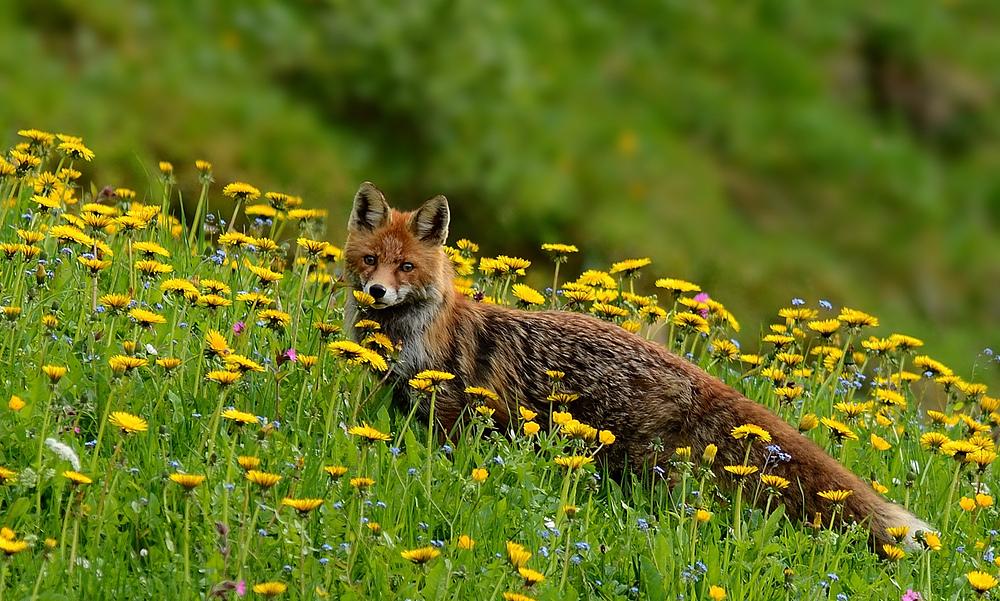 Fuchs im Löwenzahn
