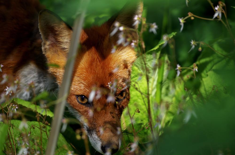 Fuchs im Park 1