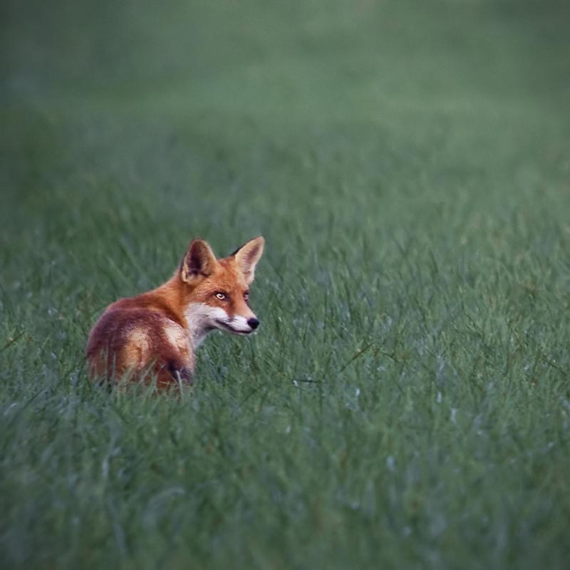 Fuchs im Quadrat