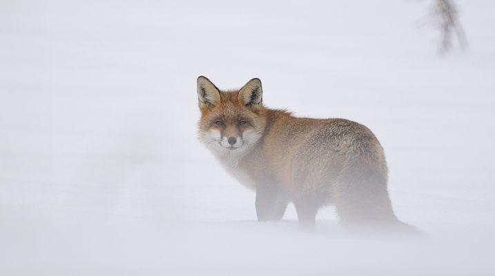 Fuchs im Schnee 1