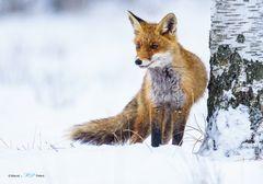 Fuchs im Schnee 2