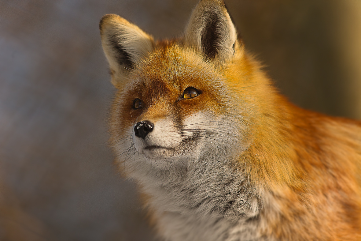 Fuchs im Tierpark Goldau Nr.4