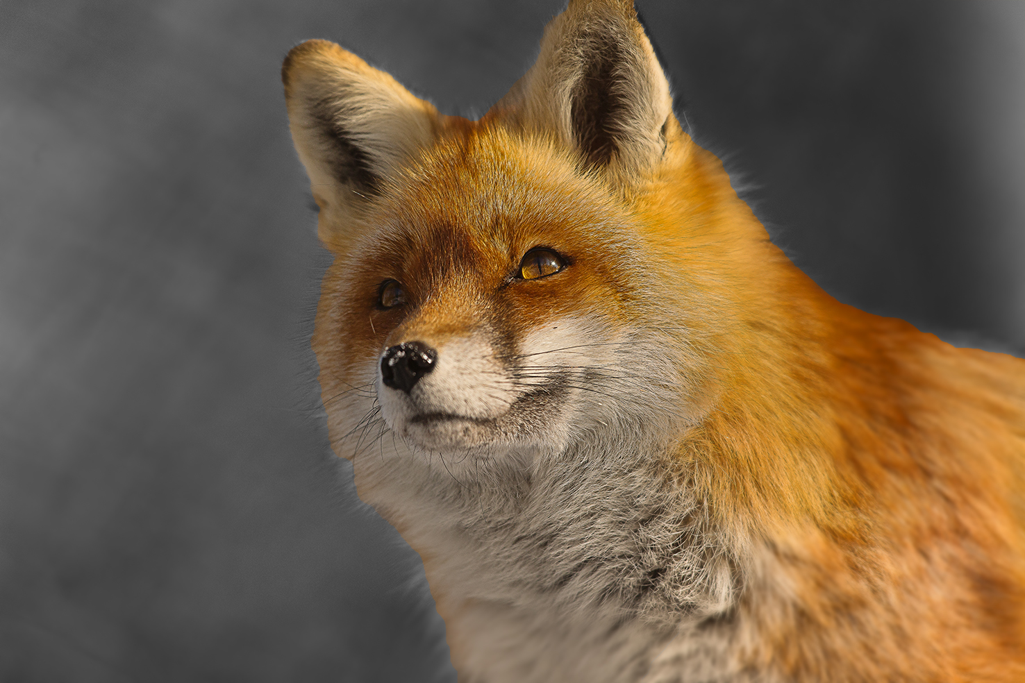 Fuchs im Tierpark Goldau Nr.5