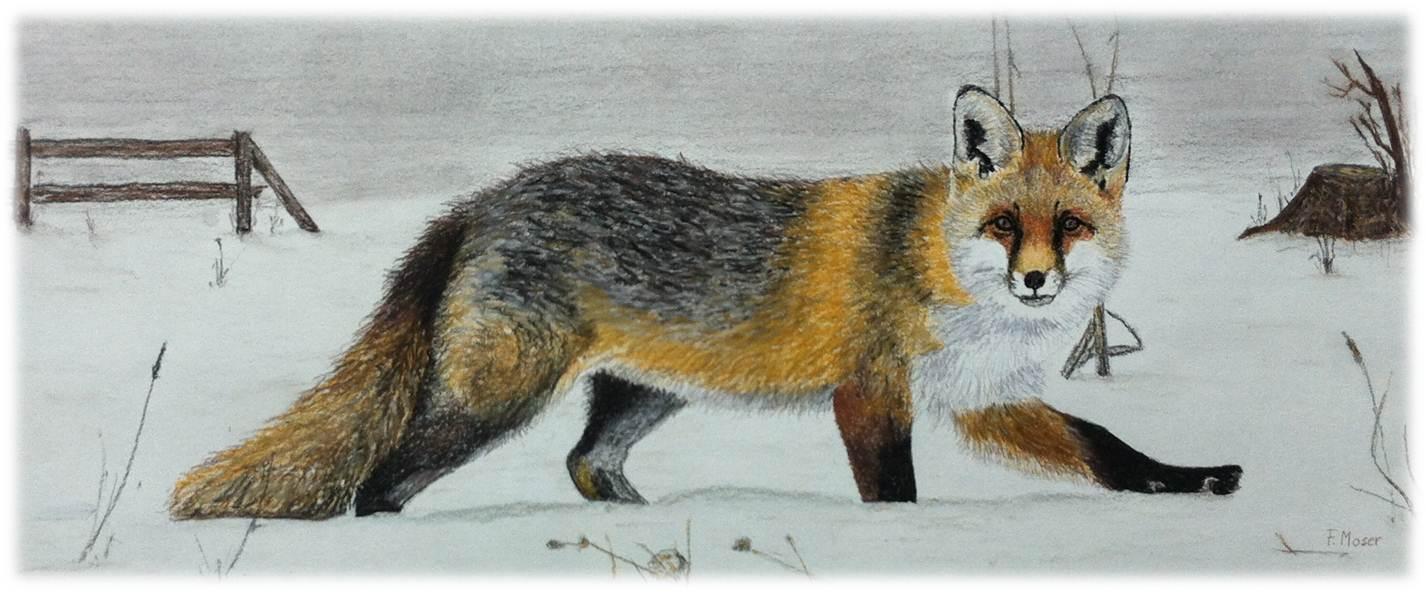 Fuchs im Wintermantel