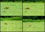 Fuchs in der Landschaft