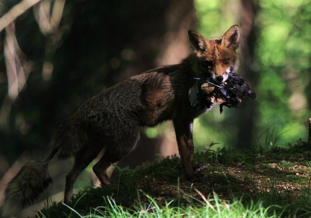 Fuchs mit junger Rabenkrähe