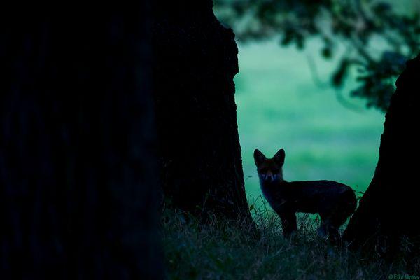Fuchs Nacht