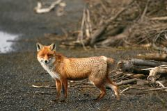 Fuchs ohne Schwanz