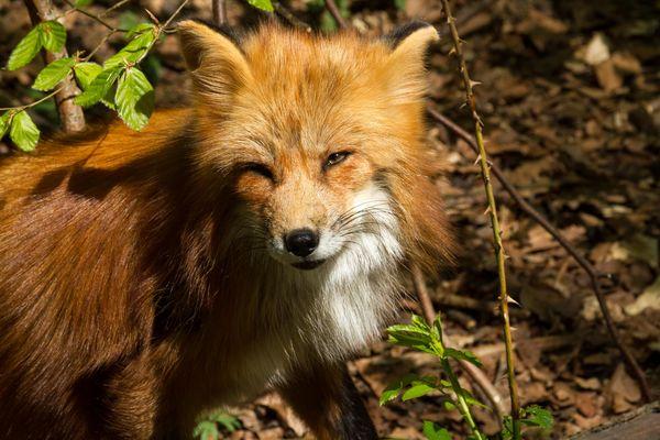 Fuchs sieht mich