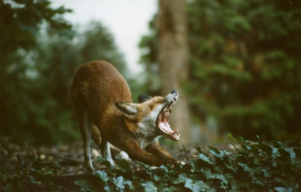 Fuchs streckt sich und gähnt