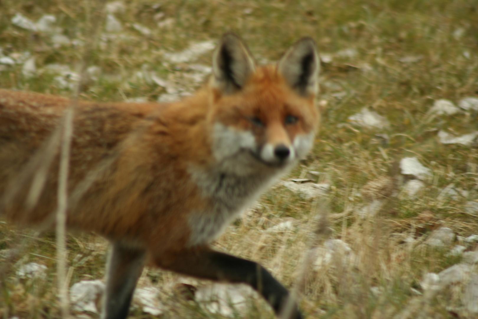 Fuchs total entspannt