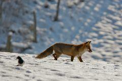Fuchs und Elster ...