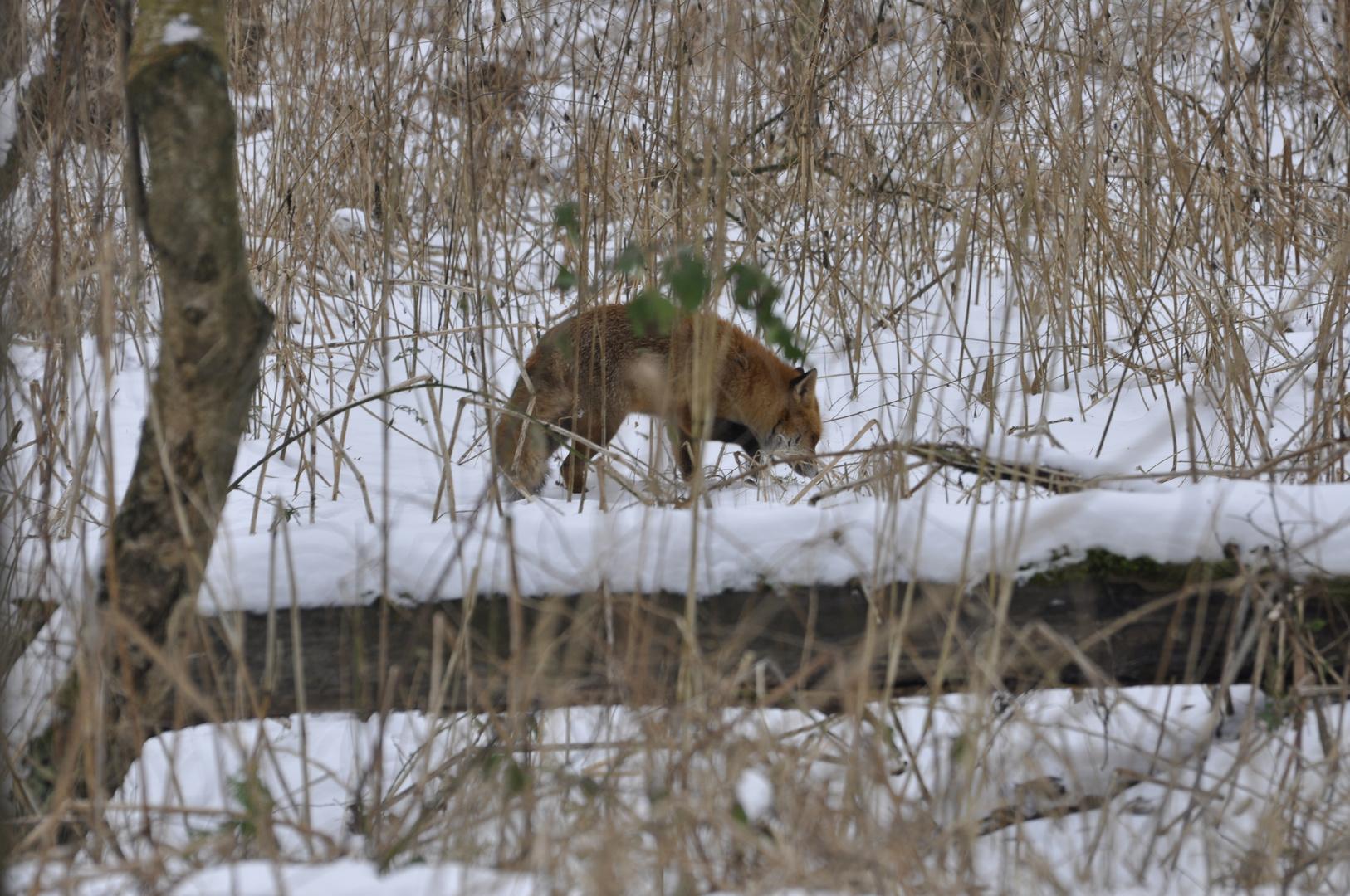 Fuchs und Pelzmantel