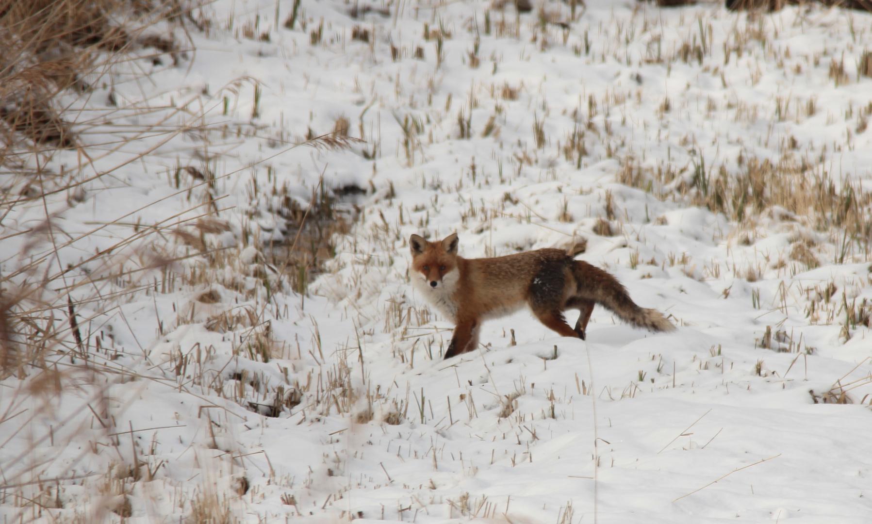 Fuchs wechselt über die Schilfschneise