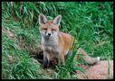 - Fuchs Welpe 1 vor seinem Bau - von Wolfgang Zerbst - Naturfoto