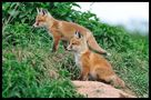 - Fuchs-Welpen- ( Vulpes vulpes ) von Wolfgang Zerbst - Naturfoto