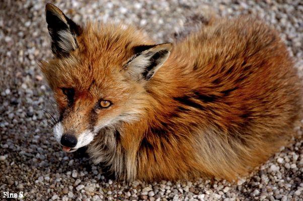 Fuchsbaby