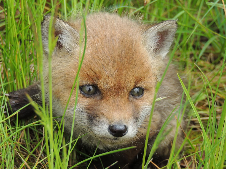 Fuchsbaby ...noch ohne Angst