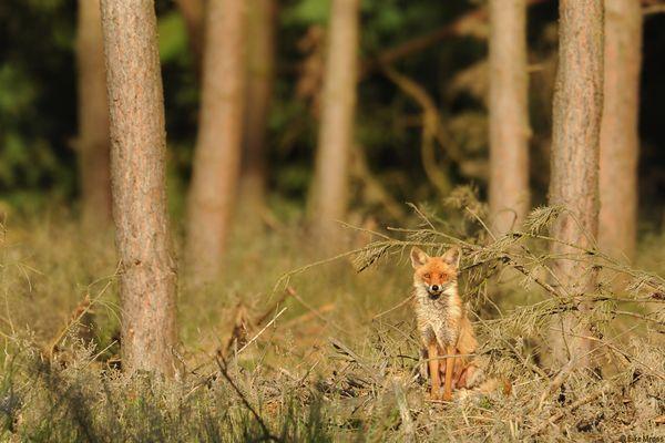 Fuchsfähe mit Gesäuge