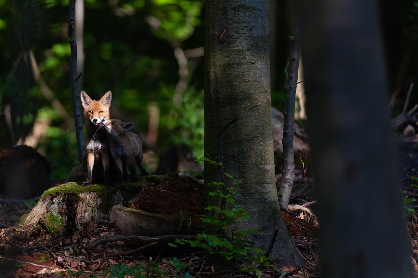 Fuchsfähe mit Nachwuchs
