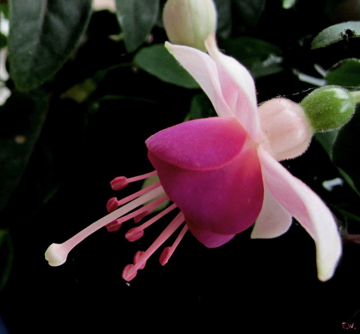 'Fuchsia'
