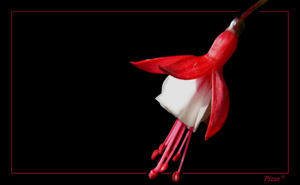 -Fuchsia cordifolia-